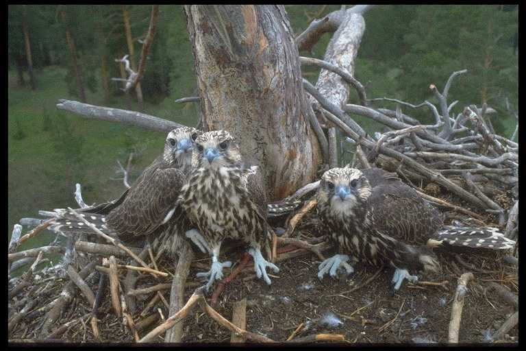 Tree-nesting Sakers in Kazakhstan