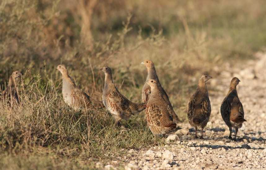 A lucky number of Grey Partridge to count (shutterstock.com)