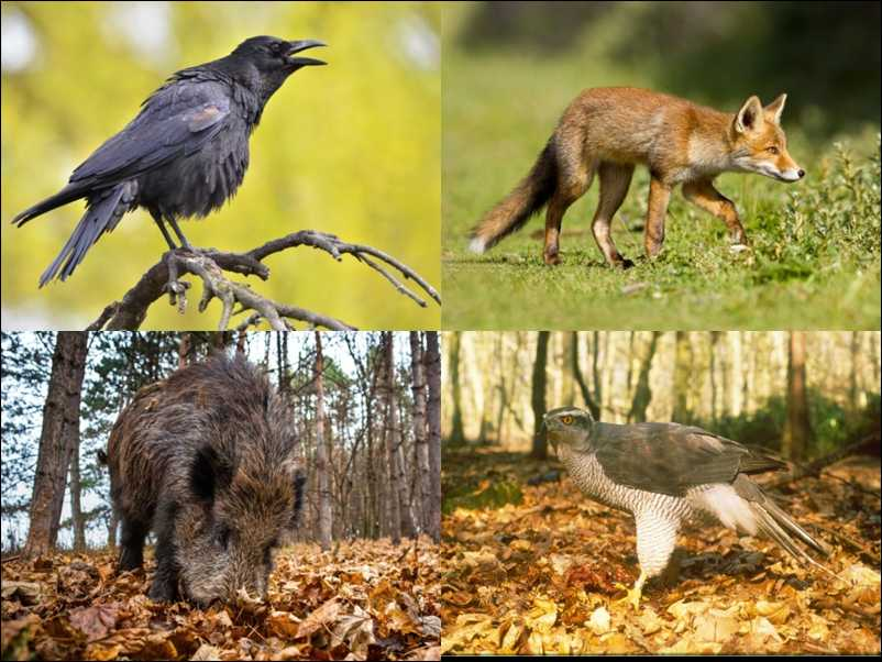 Crow, Badger, Fox and Goshawk (shutterstock.com).