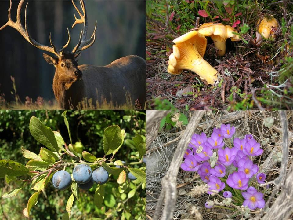 Deer, chanterelles, sloes and crocus
