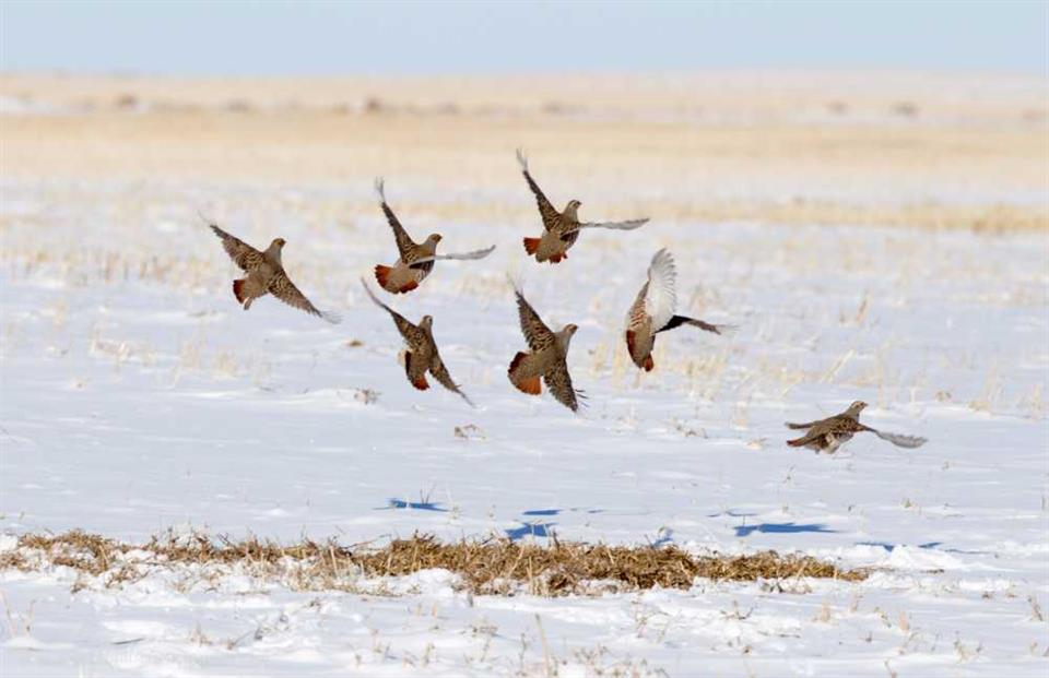 A covey of Grey Partridges launches in winter (© M Williams)