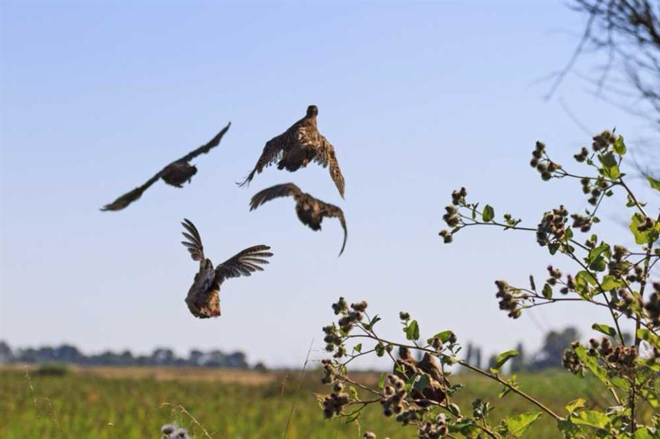 A covey of Grey Partridge launches (shutterstock.com)