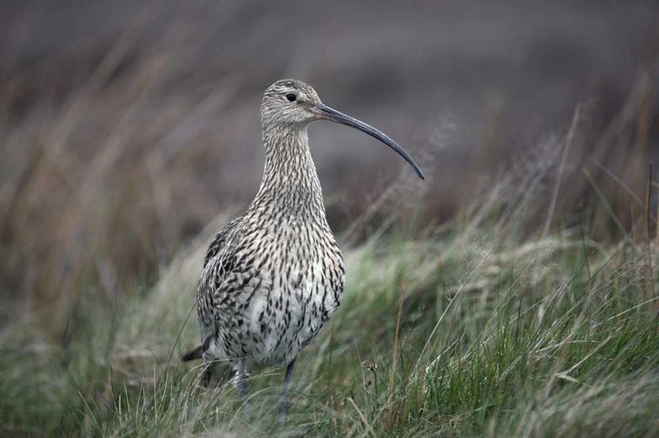 The curlew benefits from predator management © Erni/Shutterstock.com