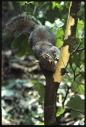 Grey squirrel stripping bark © Red Squirrel Survival Trust